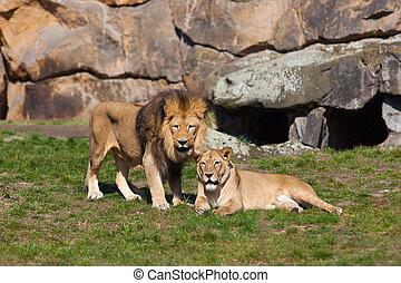 Beautiful Lion. Lion portrait