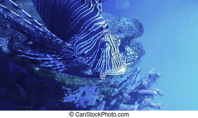 Beautiful lionfish swims - Beautiful lion fish swims in blue...