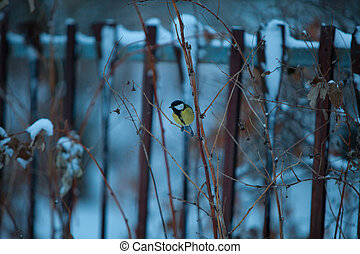 beautiful little bird of titmouse in the winter on blue background