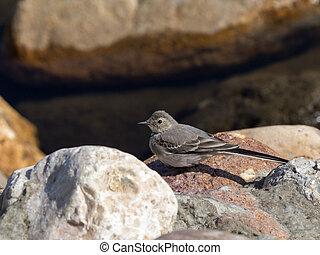 beautiful little bird wagtail sitting on a stone