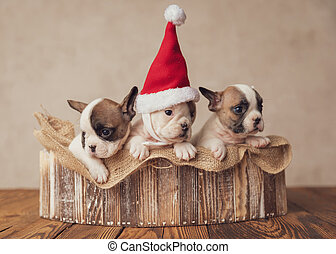 beautiful little bulldogs puppies waiting for christmas