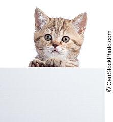 beautiful little cat gray kitten with white board
