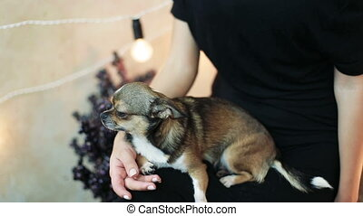 beautiful little chihuahua dog sitting on his hands on knees posing looks into the camera and her woman kisses in the head.