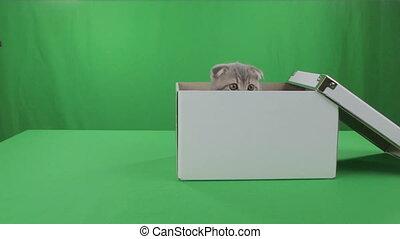 Beautiful little kitten Scottish Fold in box on Green Screen stock footage video