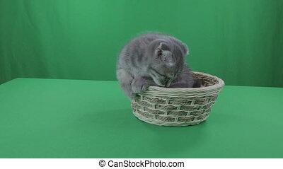 Beautiful little kitten Scottish Fold in basket on Green Screen.