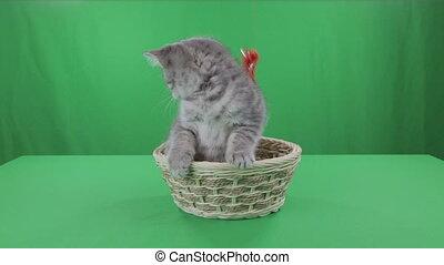 Beautiful little kitten Scottish Fold in basket on Green Screen stock footage video
