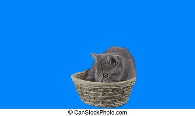 Beautiful little kitten Scottish Fold in basket on Green Screen. Alpha channel is included