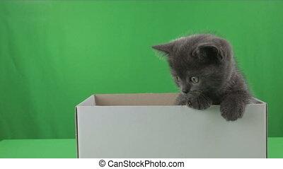 Beautiful little kitten Scottish Fold in box on Green Screen.