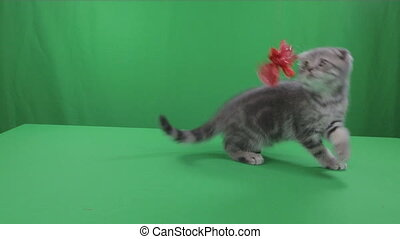 Beautiful little kitten Scottish Fold on Green Screen.