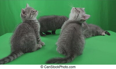 Beautiful little kittens Scottish Fold on Green Screen stock footage video