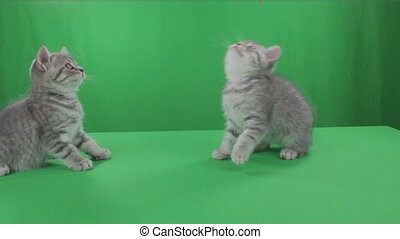 Beautiful little kittens Scottish Fold on Green Screen.