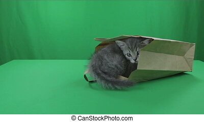 Beautiful little kittens Scottish Fold in paper bag on Green Screen.