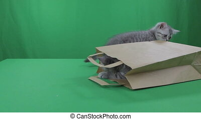 Beautiful little kittens Scottish Fold in paper bagon Green Screen.