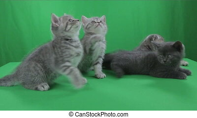 Beautiful little kittens Scottish Fold on Green Screen.