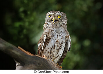 Beautiful little owl in the forest
