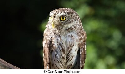 Beautiful little owl in the forest - Beautiful little owl...