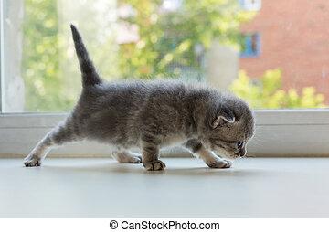Beautiful little tabby kitten on window sill. Scottish Fold breed.