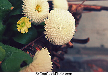 little white daisies in close-up in the garden