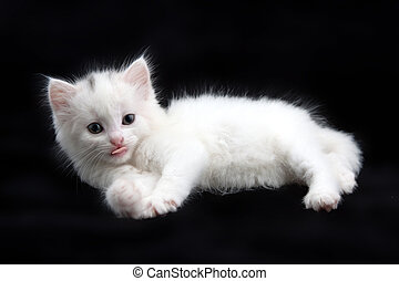 beautiful little white kitten on a black background