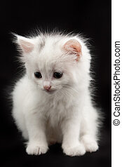 white kitten sitting on a black background