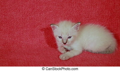 beautiful little white kitten