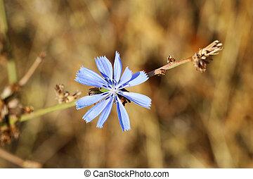Beautiful live cornflower or cornflower flower on a sunny day