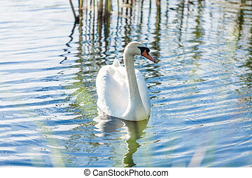 lonely swan swimming on lake at sunny day