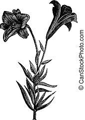 Beautiful long flowered lily, vintage engraving - Beautiful...
