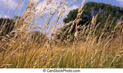 Beautiful long grass moving in wind