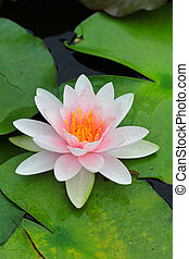 Beautiful lotus background