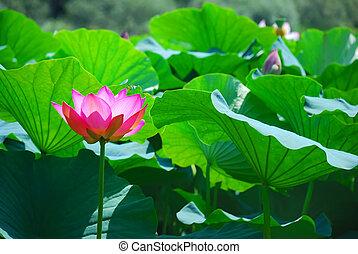 Beautiful lotus - Beautiful pink lotus is a water flora