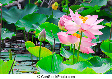 beautiful lotus blossoms or water lily flowers nature background