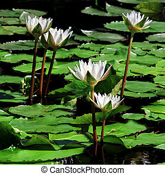 Beautiful lotus flower in the pond