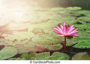 Green lotus flower with sunlight scientific name nelumbo stock beautiful lotus flower in the pond with sunlight mightylinksfo