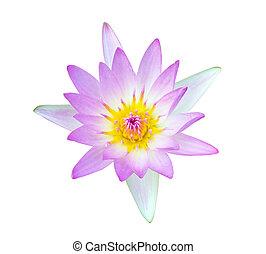 Beautiful lotus flower on white