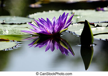 Beautiful lotus flower with reflection