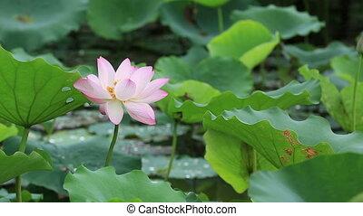 beautiful lotus flowers blooming - beautiful lotus flowers...