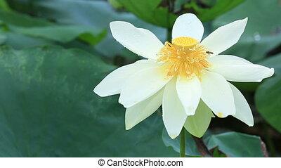 beautiful lotus flowers blooming at pond
