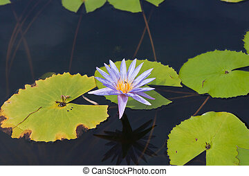 beautiful lotus In the pool