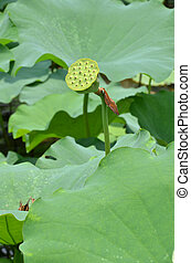 Beautiful lotus seed in the pond