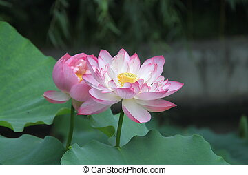 Beautiful lotuses and green leaves in summer