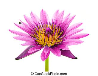 Beautiful lotus(Single lotus flower isolated on white background