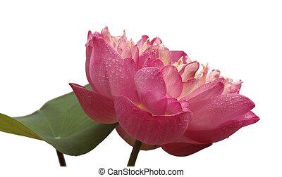 Beautiful lotus(Single lotus flower isolated on white background)