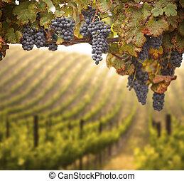 Beautiful Lush Grape Vineyard In The Morning Mist and Sun ...