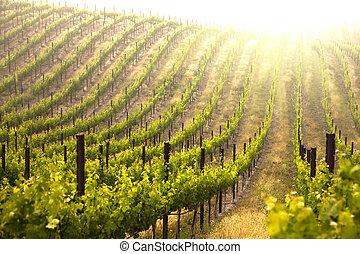 Beautiful Lush Grape Vineyard In The Morning Mist and Sun...