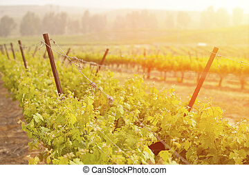 Beautiful Lush Grape Vineyard in The Morning Sun and Mist