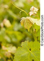 Beautiful Lush Grape Vineyard Leaves