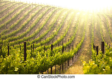 Beautiful Lush Grape Vineyard In The Morning Mist and Sun...