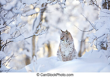 Beautiful lynx cat cub in the cold winter forest