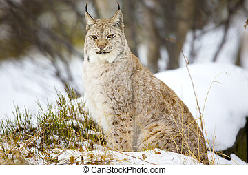 Beautiful lynx cat sitting in the winter forest